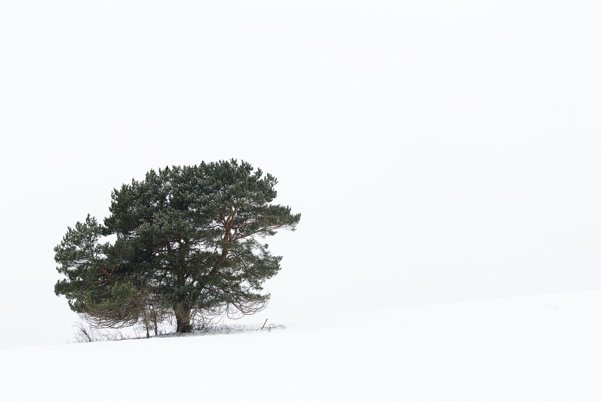 Ein einzeln stehender, verschneiter Baum beim Kalkfelsen nahe Undingen auf der Schwäbischen Alb.