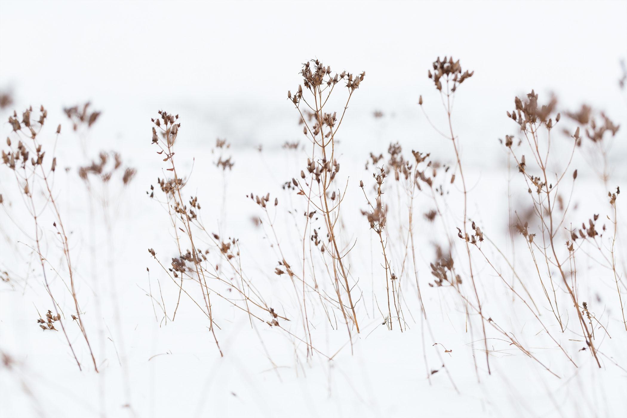 Getrocknete Gräser im Schnee. Aufgenommen am Kalksteinfelsen bei Undingen.